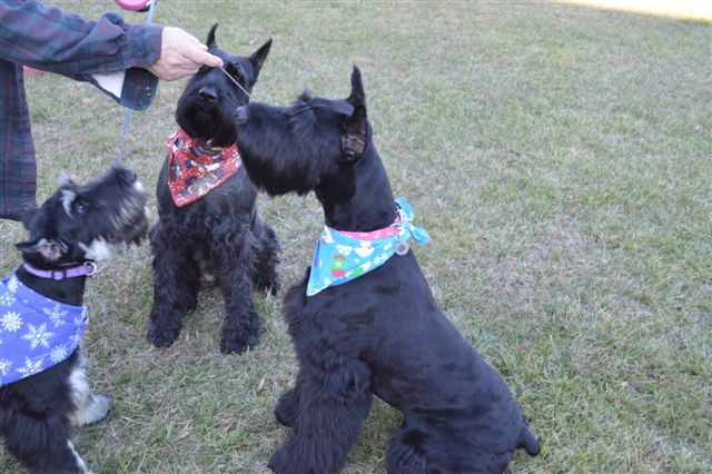 Giant Schnoodle Breeders Amp Puppies For Sale In Raleigh Nc