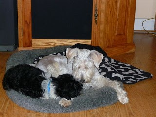 schnoodle dogs laying together at Pierce Schnoodles' dog boarding in Raleigh NC