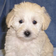 Miniature Amp Toy Schnoodle Puppies For Sale In Raleigh Nc