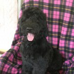Giant Schnoodle Puppies For Sale in Raleigh NC