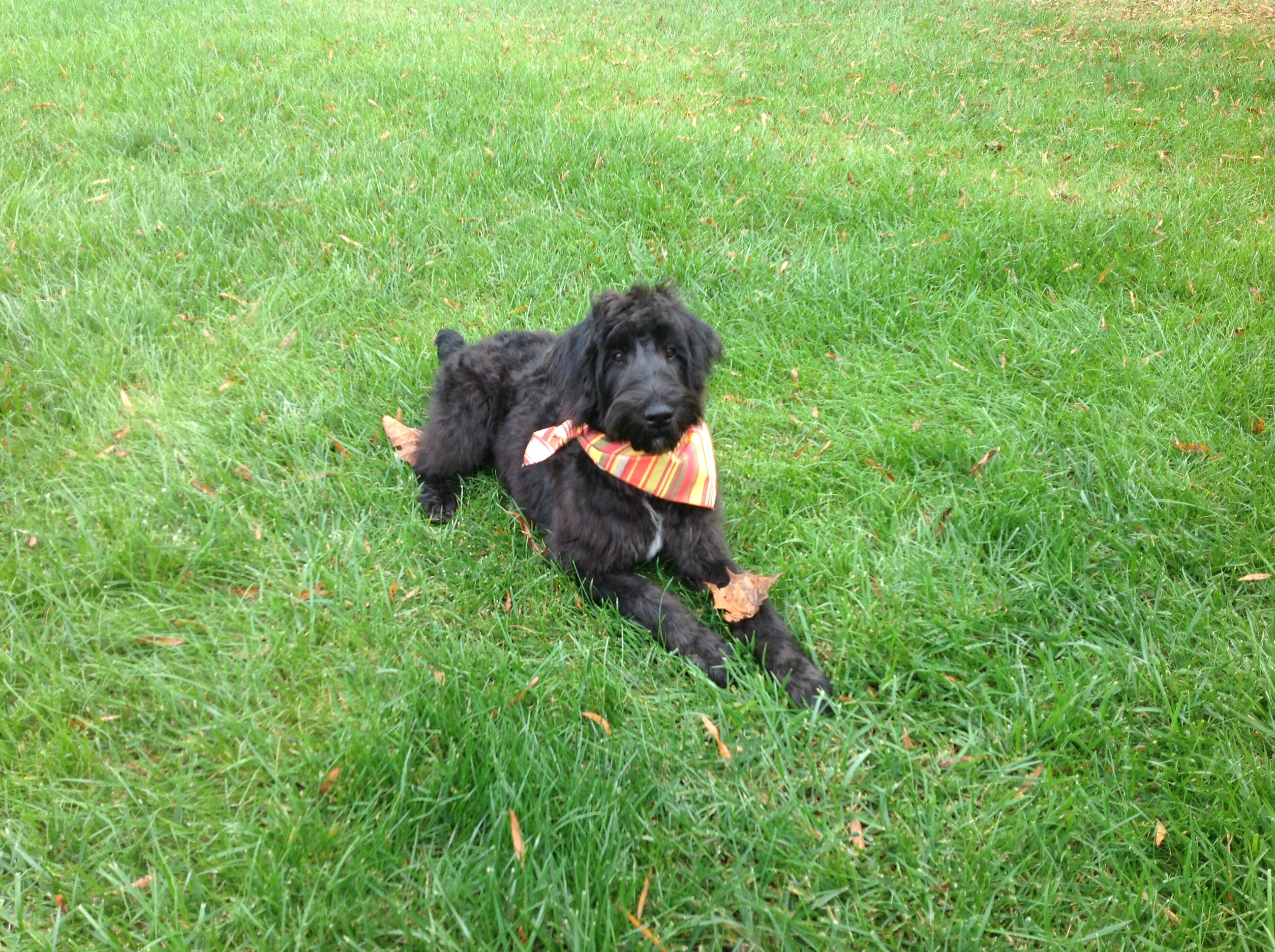 giant black schnoodle with striped orange and yellow bandana collar