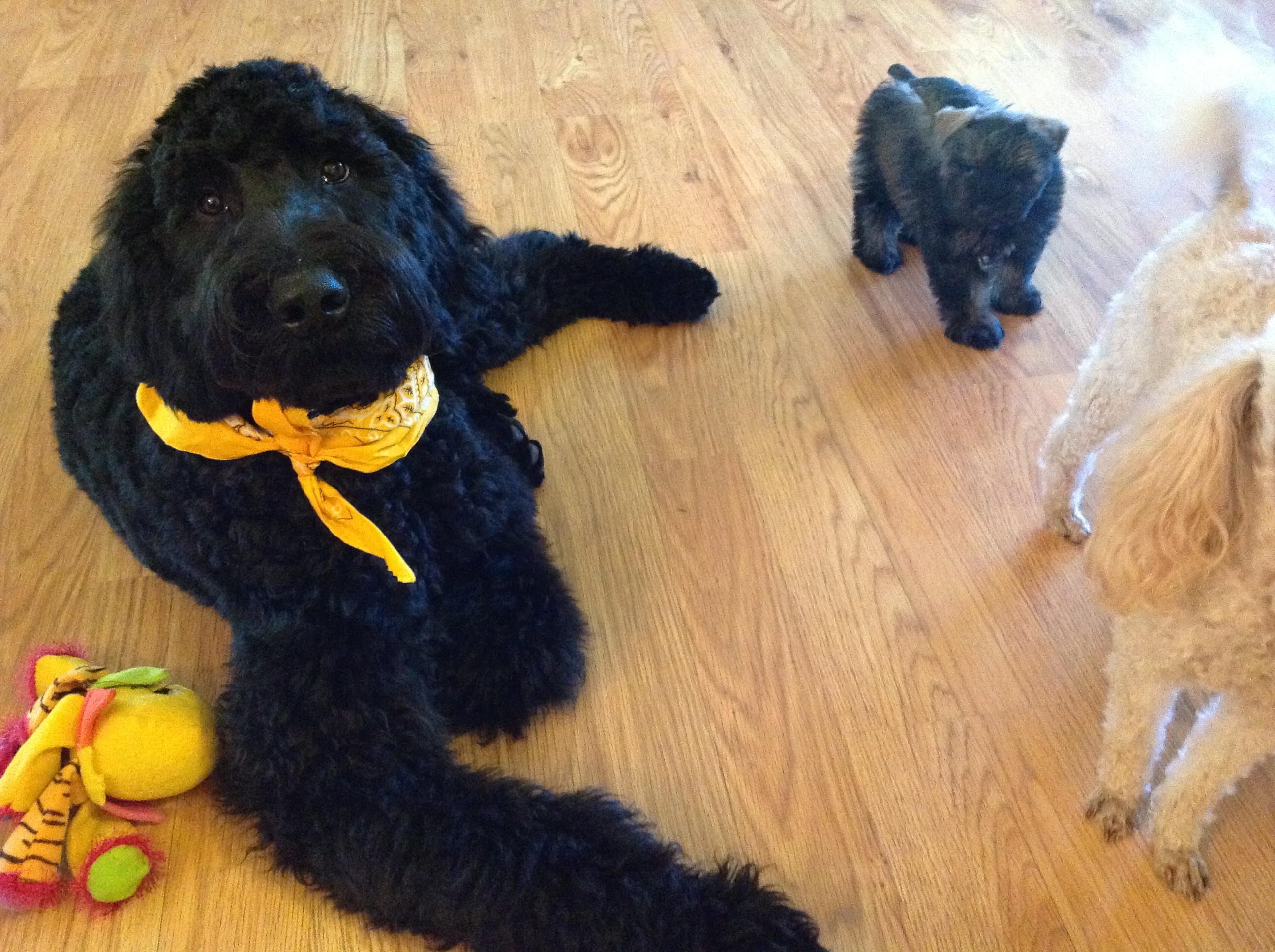giant black schnoodle dog playing with puppies