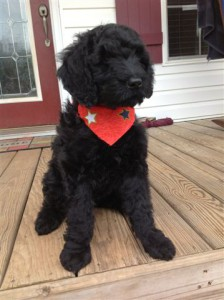 Giant Black Schnoodle Dog with a Red Bandana