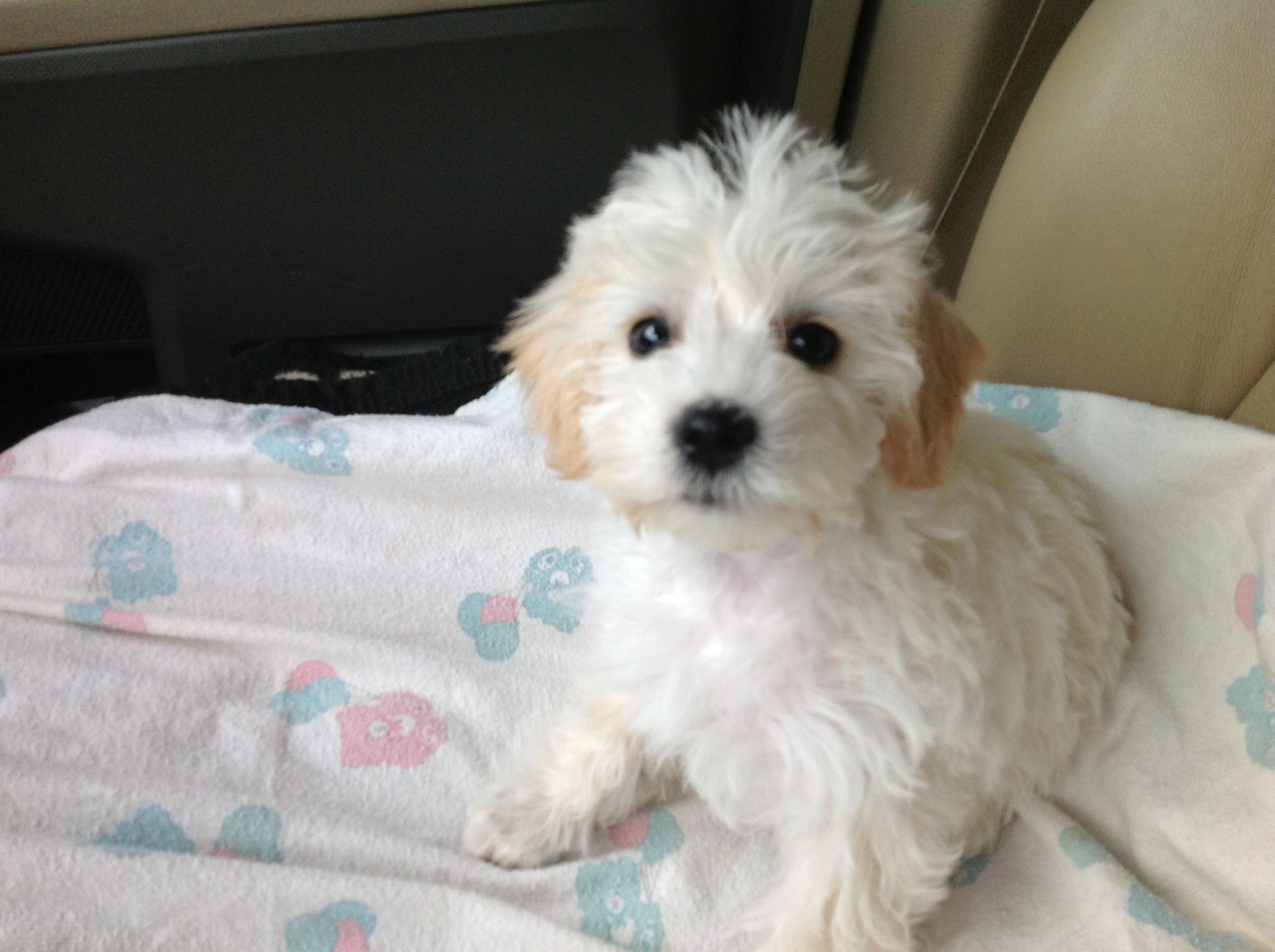 Mini Schnoodle Puppies Biancas Winter Litter Is Here Pierce