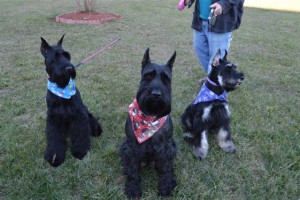 Giant Black Schnoodle Female Dogs (Mother's)