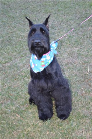 Schnoodle Puppies For Sale Dog Breeders In Raleigh Nc Pierce